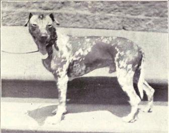 Mexican_Hairless_from_1915